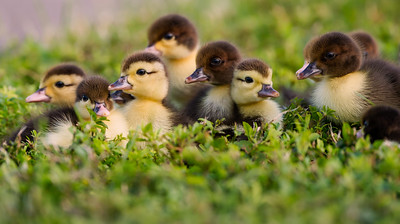 Waiting for Mom - Moscovy Ducklings