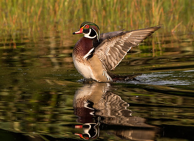 Wood Duck Wingflap
