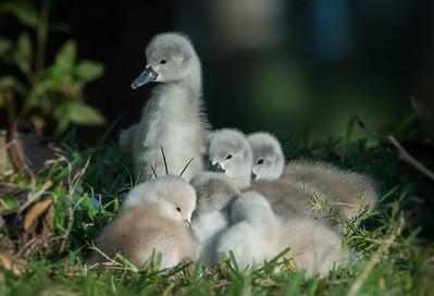 Mute Swan Siblings