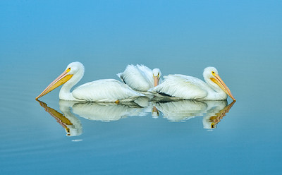 Threesome - White Pelicans