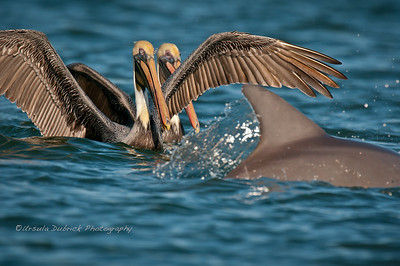 Pelican Surprise