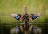 Wingflap - Mottled Duck