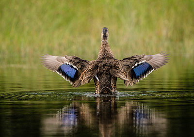 Wingflap - Mottled Duck