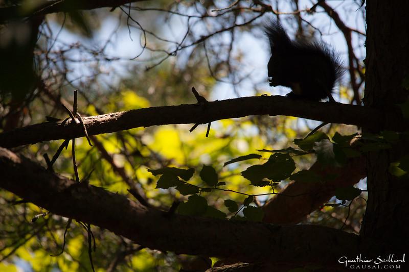 Silhouette des Eichhörnchens