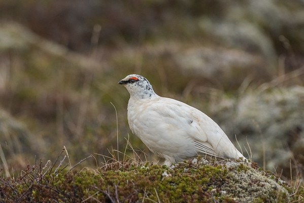 The rock ptarmigan (Lagopus muta)