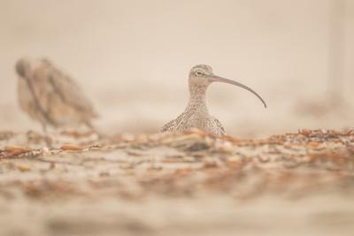 Kulik długodzioby (Numenius americanus)
