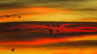 Fiery Flight, Bosque del Apache NM