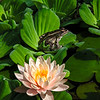 Leopard Frog & Lily