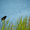 Redwing Blackbird on Cattail