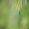 Dragonfly Hanging to Grass