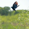 Redwing Blackbird in Flight