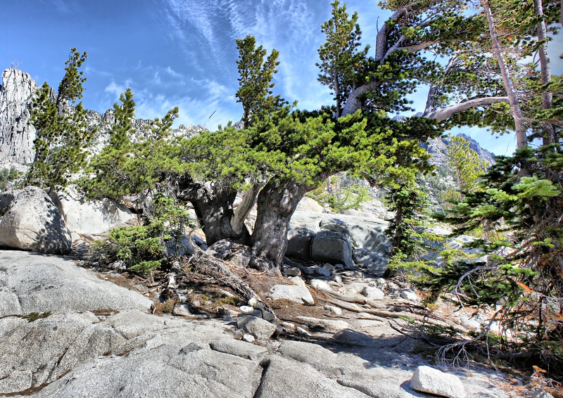 Sturdy Old Tree - Enchantments - August 2015