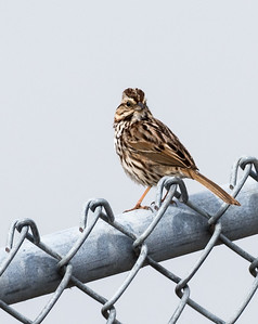 Nelsons or Song Sparrow