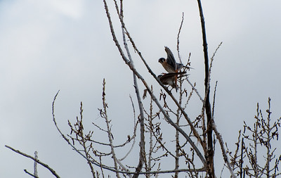 Falcon - American Kestrel - Mating