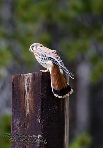Falcon - American Kestrel