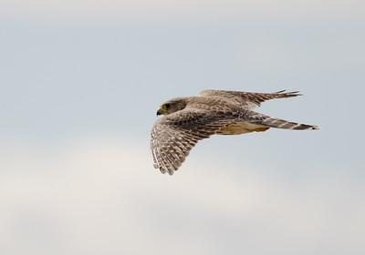 Falcon - Prairie