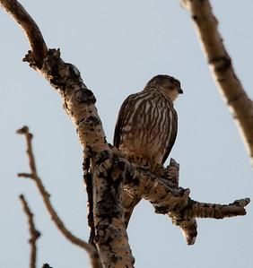 Falcon - Merlin