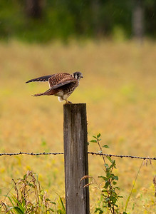 Falcon - American Kestrel - Female