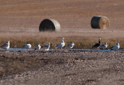 Goose - Snow - blue Goose