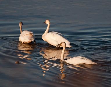 Swan - Tundra