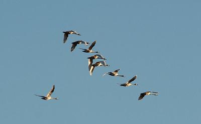 Swan - Trumpeter