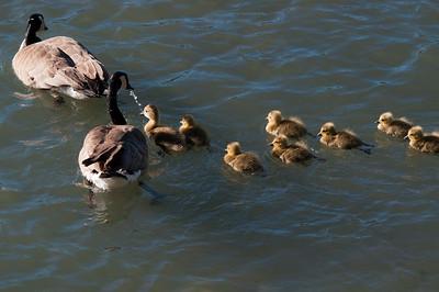 Goose - Canada - Goslings