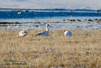 Goose - Snow