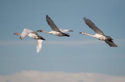 Swan - Trumpeter - Juvi's