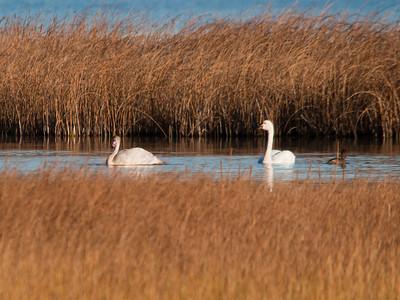 Swan - Tundra & juvi