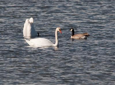 Swan - Mute
