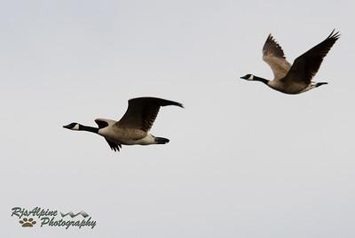 Goose - Canada