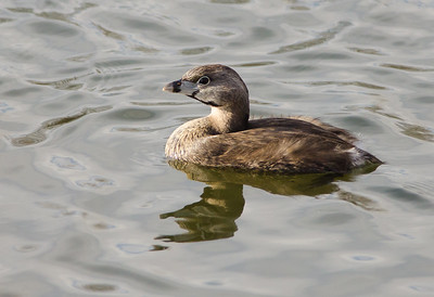 Grebe - Pied Billed