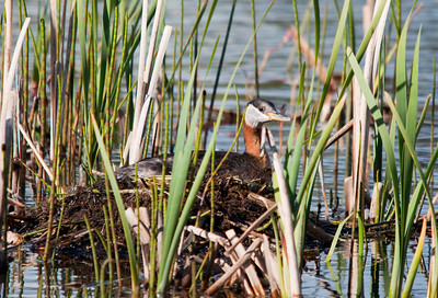 Grebe - Red necked - Nesting