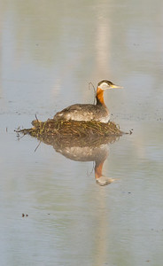 Grebe - Red Necked