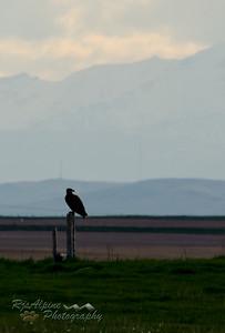 Eagle - Bald