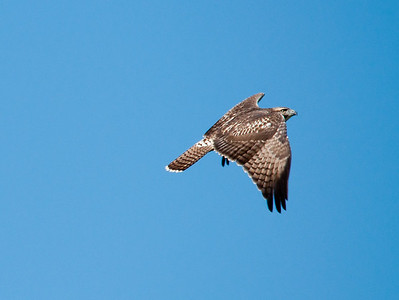 Hawk - Broad Winged