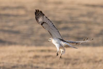 Red Tailed Hawk - Krider Variant