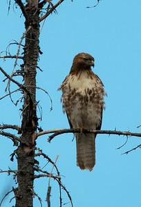 Hawk - Broad-Winged - Juvi