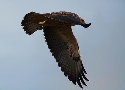 Hawk - Broad-Winged