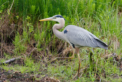 Heron - Great Blue