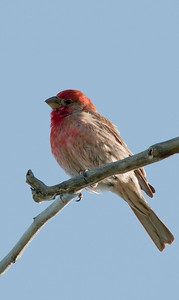 House Finch - Male