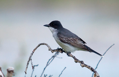 Kingbird - Eastern