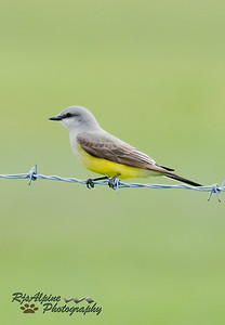 Kingbird - Western