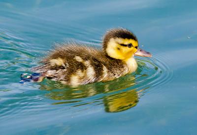 Mallard - Duckling