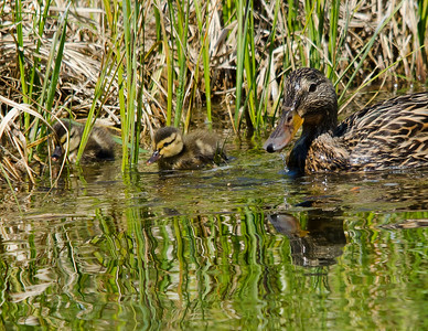 Mallard - Female & Ducklings