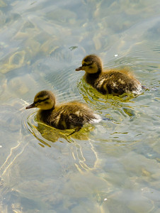 Mallard - Ducklings
