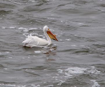 American Pelican - Male