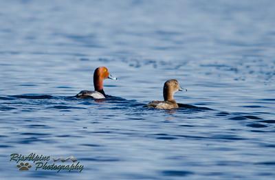 Redhead - Male & Female
