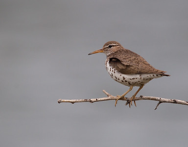 Sandpiper - Spotted
