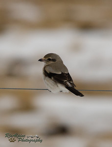 Shrike - Northern